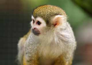 ����, ������������, ���������, ������, ����������, ���� �����.,squirrel monkey., ��������, ��������, ��������,