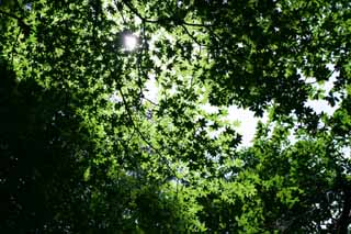 photo,material,free,landscape,picture,stock photo,Creative Commons,New green canopy, leave, transmitted light, tender green, sun