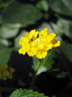 photo,material,free,landscape,picture,stock photo,Creative Commons,A lantana, Lantana, Yellow, Succession of seven kinds of dancing, Gardening