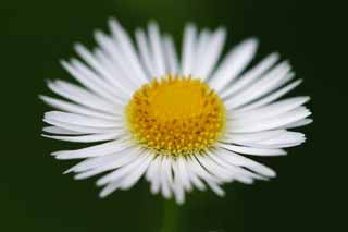 photo,material,free,landscape,picture,stock photo,Creative Commons,Anthem to the fleabane, white, yellow, fleabane,