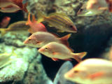 photo, la mati�re, libre, am�nage, d�crivez, photo de la r�serve,Mer-br�me-comme poissons, poisson, marin, vivaneau, aquarium