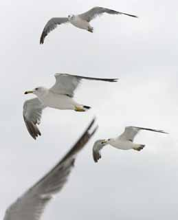 photo, la mati�re, libre, am�nage, d�crivez, photo de la r�serve,Assemblez-vous de mouettes, mouette, ciel, mer, mouette