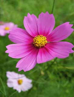 photo, la mati�re, libre, am�nage, d�crivez, photo de la r�serve,Cosmos rose, cosmos, cosmos, fleur, pollen