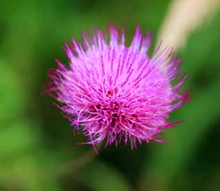 photo,material,free,landscape,picture,stock photo,Creative Commons,Thistle of dainty, , , ,