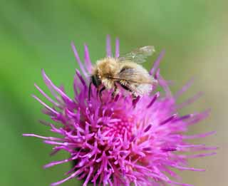 photo,material,free,landscape,picture,stock photo,Creative Commons,Thistle to bees, , , ,