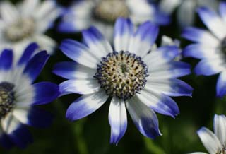 ����, ������������, ���������, ������, ����������, ���� �����.,������� cineraria., cineraria, �����, indigo �����, potted �����