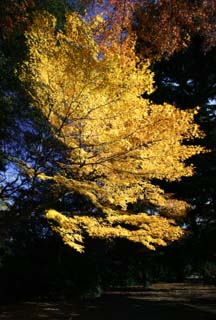 photo, la mati�re, libre, am�nage, d�crivez, photo de la r�serve,La feuille Autum est jaune, Feuilles color�es, �rable, Feuilles baiss�es, arbre