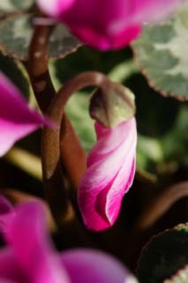 photo, la mati�re, libre, am�nage, d�crivez, photo de la r�serve,Une spirale d'un cyclamen, cyclamen, bourgeon, , plante en pot