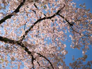 photo, la mati�re, libre, am�nage, d�crivez, photo de la r�serve,Cherry Blossom, , , ,
