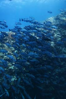 photo,material,free,landscape,picture,stock photo,Creative Commons,A school of fish, The sea, Coral, , School of fish