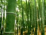 photo,material,free,landscape,picture,stock photo,Creative Commons,Expressive bamboo trees, , , ,