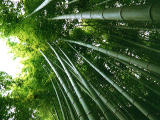 photo,material,free,landscape,picture,stock photo,Creative Commons,Growing bamboo trees, , , ,