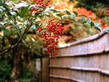 photo,material,free,landscape,picture,stock photo,Creative Commons,Red nandina berries, , , ,