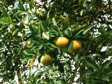 photo,material,free,landscape,picture,stock photo,Creative Commons,Mandarin oranges, , , ,