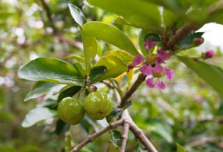 photo, la mati�re, libre, am�nage, d�crivez, photo de la r�serve,Un jeune fruit d'acerola, Acerola, Rose, fleur, Fruit
