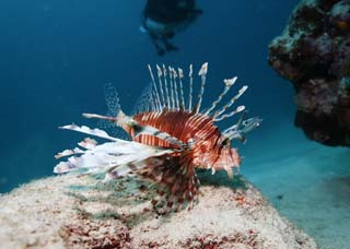 photo, la mati�re, libre, am�nage, d�crivez, photo de la r�serve,Poisson de dinde Hana, Hanturkey p�chent, Lionfish, poisson de dinde, Poisson tropique