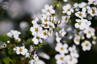 photo, la mati�re, libre, am�nage, d�crivez, photo de la r�serve,Printemps de Spiraea, , spiraea, spirea, Dans le printemps