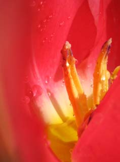 photo,material,free,landscape,picture,stock photo,Creative Commons,The palace of crimson spring, , tulip, , drop of water