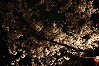photo,material,free,landscape,picture,stock photo,Creative Commons,Brightness of going to see cherry blossoms at night, cherry tree, , , Yoshino cherry tree