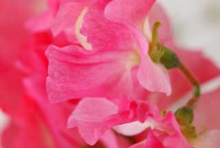 photo,material,free,landscape,picture,stock photo,Creative Commons,A dance of pink sweet pea, Pink, Sweet pea, sweet pea, petal