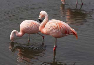 photo, la mati�re, libre, am�nage, d�crivez, photo de la r�serve,Un flamant rose, , flamant rose, oiseau, Rose
