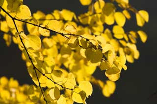 photo, la mati�re, libre, am�nage, d�crivez, photo de la r�serve,Les feuilles color�es que je suis jaune, et �clat, Jaune, �rable, ,