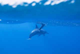 photo,material,free,landscape,picture,stock photo,Creative Commons,A flock of dolphins, Is there me?, dolphin, , In the water