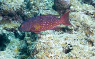 photo, la mati�re, libre, am�nage, d�crivez, photo de la r�serve,Poisson, r�cif corail, Poisson tropique, Ishigaki-jimIsland, m�rou