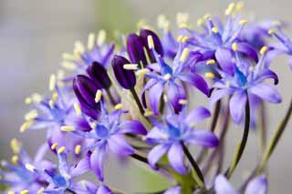 photo, la mati�re, libre, am�nage, d�crivez, photo de la r�serve,Collection d'un fleuron violet bleu�tre, Violette bleu�tre, fleur, ,