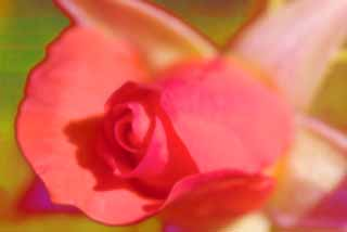 photo, la mati�re, libre, am�nage, d�crivez, photo de la r�serve,Un r�ve d'une rose, rose, rose, rose, rose
