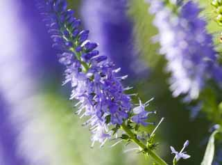 photo,material,free,landscape,picture,stock photo,Creative Commons,Thought of a flower of bluish violet, Bluish violet, flower bed, Sunlight,