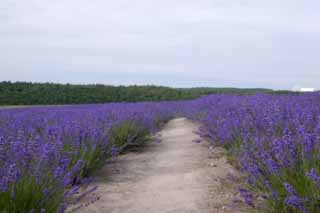 photo, la mati�re, libre, am�nage, d�crivez, photo de la r�serve,Un chemin d'un champ lavande, lavande, jardin de la fleur, Violette bleu�tre, Herb