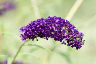 photo, la mati�re, libre, am�nage, d�crivez, photo de la r�serve,Un buddleia, buddleia, FusBuddlejjaponica, Papillon Bush, FusBuddlejjaponica