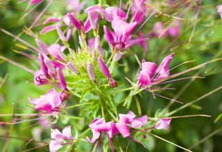 ����, ������������, ���������, ������, ����������, ���� �����.,cleome., cleome, Cleome spinosa, ������ spider ������, �������� ����� �������-�����