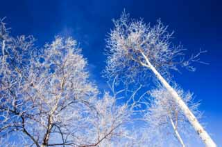 photo,material,free,landscape,picture,stock photo,Creative Commons,Look up at the rime on trees, blue sky, The rime on trees, , white birch