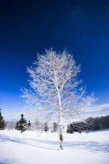 photo,material,free,landscape,picture,stock photo,Creative Commons,The rime on trees and a blue sky, blue sky, The rime on trees, snowy field, white birch