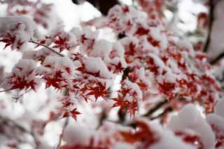 ����, ������������, ���������, ������, ����������, ���� �����.,���� � ������� ����., ��� snowy, �������, maple, Maple