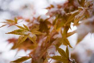 ����, ������������, ���������, ������, ����������, ���� �����.,���� � ������� ����., ��� snowy, ������, maple, Maple