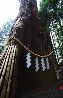 ����, ������������, ���������, ������, ����������, ���� �����.,���� cedar Tosho-gu Shrine, cedar, sinus, �����������, Shinto ������ festoon