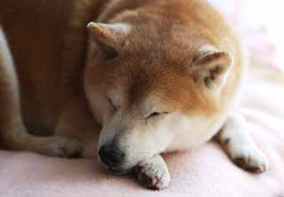 photo, la mati�re, libre, am�nage, d�crivez, photo de la r�serve,Un somme de l'apr�s-midi d'un vieux chien, Shiba minuscule japonais, chien, Il n'y a pas lui, animal familier
