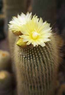 photo, la mati�re, libre, am�nage, d�crivez, photo de la r�serve,Une fleur jaune d'un cactus, , cactus, cactus, cactus