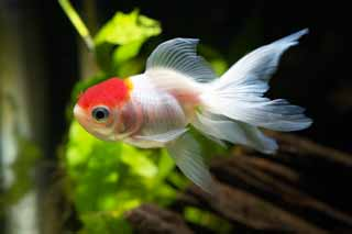 photo,material,free,landscape,picture,stock photo,Creative Commons,Medium of a white crane with a red crest, fin, goldfish, An admiration fish, Red and white