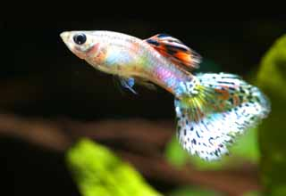 photo,material,free,landscape,picture,stock photo,Creative Commons,A guppy, Tropical fish, An admiration fish, Blue, Red