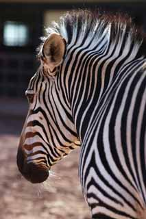 photo,material,free,landscape,picture,stock photo,Creative Commons,A zebra, An island horse, zebra, , The mane