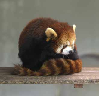 photo,material,free,landscape,picture,stock photo,Creative Commons,Lesser panda, Panda, I am pretty, popular person, tail