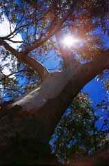 photo,material,free,landscape,picture,stock photo,Creative Commons,Summer of eucalyptus color, branch, blue sky, sun,
