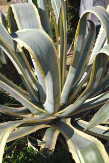 photo,material,free,landscape,picture,stock photo,Creative Commons,An agave, , cactus, Mescal, houseplant