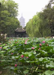 photo, la mati�re, libre, am�nage, d�crivez, photo de la r�serve,Zhuozhengyuan, �tang, lotus, lotus, jardin