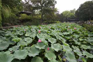 photo, la mati�re, libre, am�nage, d�crivez, photo de la r�serve,Hasuike de Zhuozhengyuan, �tang, lotus, lotus, jardin