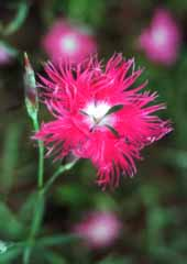 photo, la mati�re, libre, am�nage, d�crivez, photo de la r�serve,Dianthus fleurissent, rouge, , ,